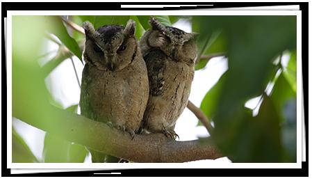 Owls in Sri Lanka