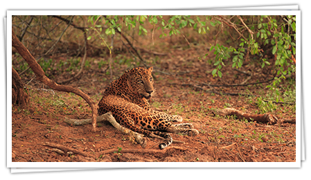 leopard-img