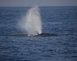 Blue Whale Encounters in Mirissa