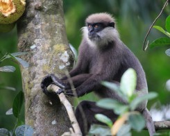 Purple Faced Leaf Monkey in Thalangama