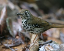 Spot Winged Thrush, Sri Lanka
