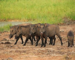 Wild Boars in Yala, Sri Lanka