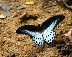 Blue Mormon in Sri Lanka