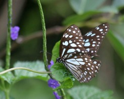 Blue Tiger Butterfly in Sri Lanka