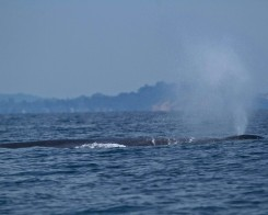 Blue Whale in Trincomalee
