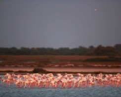 Flock of Flamingos in Sri Lanka