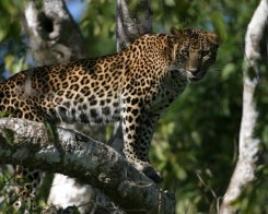 Leopard Encounters in Yala