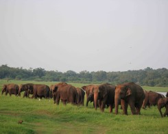 Elephant Gathering in Minneriya, Sri Lanka