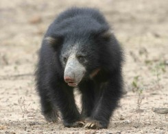 Sloth Bear in Yala, Sri Lanka