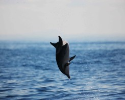 Spinner Dolphin in Mirissa