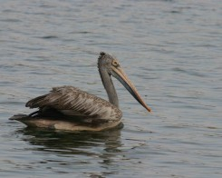 Spot Billed Pelican, Sri Lanka
