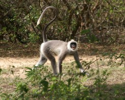 Hanuman Langur Snarling in Yala