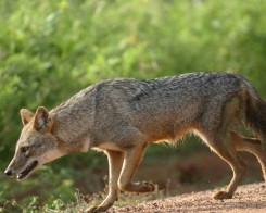 Jackal Trotting in Sri Lanka