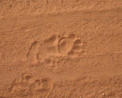 Bear Foot Prints