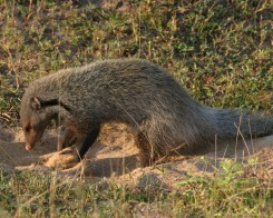 Stripe Necked Mongoose, Yala