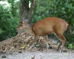 Indian Muntjac, Sri Lanka