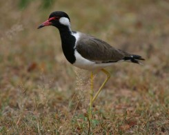 Red Wattled Lapwing, Yala