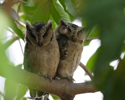 Indian Scops Owl, Sri Lanka