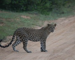Leopard Encounters in Sri Lanka