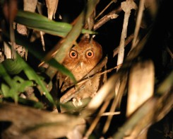 Scops Owl in Sri Lanka