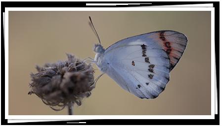 Butterfly Species in Sri Lanka