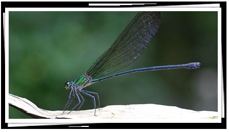 Dragon Flies in Sri Lanka