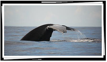 Whale in Sri Lanka