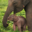 cale-thumb-Asian-Elephant