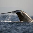 cale-thumb-Blue-Whale