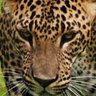 cale-thumb-Leopard