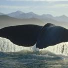 cale-thumb-Sperm-Whale