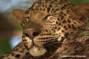 Sri Lanka Leopard 02(1)