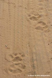 Sri Lanka Leopard © Gehan dSW 77(1)