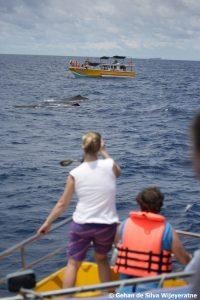 Sri Lanka Sperm Whale 119 ©Gehan dSW(1)