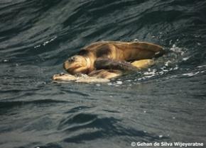 sea turtles sri lanka