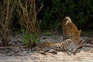 Wild Life Leopard