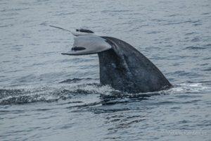 Wild Life Whale