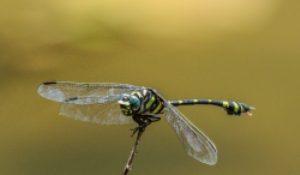 Wild Life Dragonfly