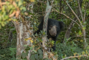 Wild Life Sloth Bear