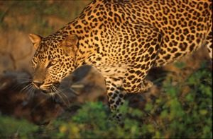 wildlife Leopard